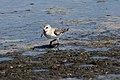 Western Sandpiper (Calidris mauri) (6097780756).jpg