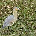 Whistling Heron (Syrigma sibilatrix) (29071729766).jpg