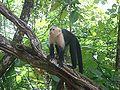 White-Headed Capuchin Manuel Antonio.JPG
