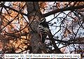 White-backed Woodpecker in South Korea 2.jpg
