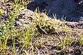 White-crowned sparrow (38476784434).jpg