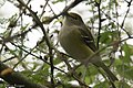 White-eyed Vireo National Butterfly Center Mission TX 2018-03-12 09-28-43 (40274575794).jpg
