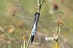 White-tailed skimmer (Orthetrum albistylum albistylum) male Greece.jpg