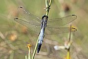 White-tailed skimmer (Orthetrum albistylum albistylum) male Greece.jpg