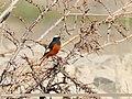 White-winged Redstart (Phoenicurus erythrogastrus) (30457855021).jpg