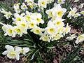 White Daffodils (7051785409).jpg