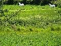 White Horses - geograph.org.uk - 1340109.jpg
