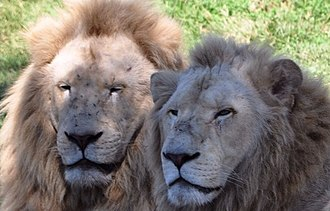The Lair (Dreamworld) - Image: White Lions at National Zoo & Aquarium