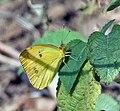 White Orange Tip (Ixias marianne) at Sindhrot near Vadodara, Gujrat Pix 055.jpg