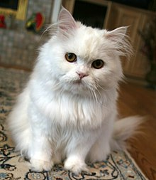 Persian Cat Black And Grey