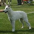 White Swiss Shepherd 1.jpg