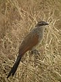 White browed coucal in Tanzania 3143 Nevit.jpg