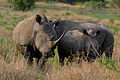 White rhinoceros (Ceratotherium simum) and calf 6m.jpg