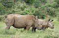 White rhinoceros or square-lipped rhinoceros, Ceratotherium simum. Note that in some of these photos there are a female with a calf, and a male that seems to have been challenging the calf. (17152033908).jpg