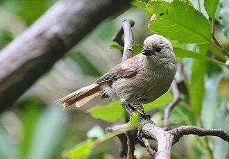 Whitehead (bird) - Image: Whitehead Roger South