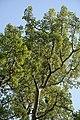 Wiener Naturdenkmal 383 - Silberpappel (Währing) d.JPG