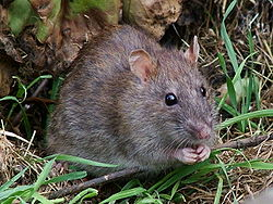 Un rat d'égout