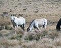 Wild Horses in the Kosciuszko National Park, NSW, Australia.jpg