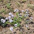 Wild Verbena (Pentanisia prunelloides) (32492514186).jpg