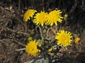 Wild flower Madeira 3.jpg