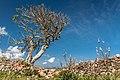 Wind-exposed tree at Castell de Santa Àgueda (26190964350).jpg