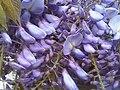 Wisteria sinensis1.jpg