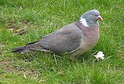 Wood Pigeon 600.jpg