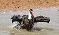 Woolly-necked stork, Bishop stork or White-necked stork, Ciconia episcopus, at uMkhuze Game Reserve, kwaZulu-Natal, South Africa - having a bath (15301438209).jpg