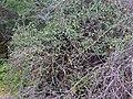 Woolly Caper Bush (Capparis tomentosa) (12818861224).jpg