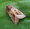 Worn Rosy Rustic. Hydraecia micacea - Flickr - gailhampshire.jpg