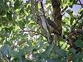 Yellow-billed Cuckoo, Columbus, MT, July 2, 2002 (6480352661).jpg