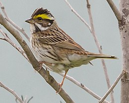 Yellow-browed bunting (Emberiza chrysophrys) Eocheong Island Korea 2012.jpg