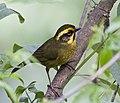 Yellow-striped Brushfinch.jpg