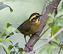 Yellow-striped Brushfinch.jpg