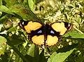 Yellow Pansy Junonia hierta UP Kaziranga by Dr. Raju Kasambe DSCN7046 (1).jpg