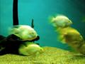 Yellow devil fishes in bangalore aquarium, india.png