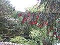 Yew fruit - geograph.org.uk - 556054.jpg