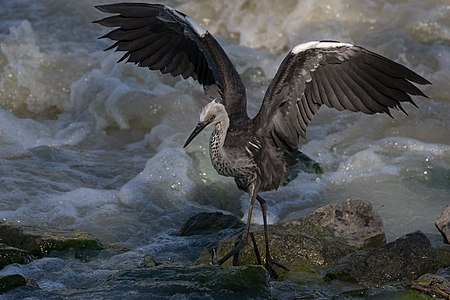 Juvenile White Necked Heron with spread wings on rapids on Darling River in Kinchega National Park, New South Wales, Australia