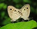 Ypthima huebneri – Common Four-ring mating 34.jpg