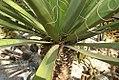Yucca faxoniana 4zz.jpg
