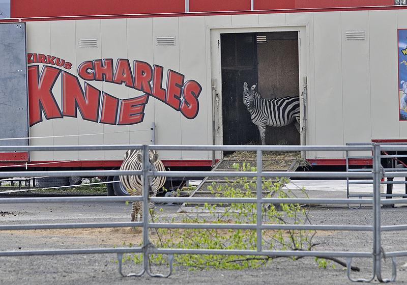 Zirkuszebras mit Transportwagen, Charles Knie, Gastspiel in Göttingen 2015