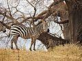 Zebra - Equus quagga.jpg