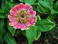 Zinnia Flowers گل آهاری 13.jpg