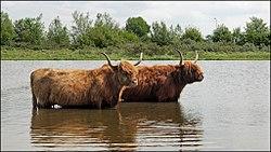 Zoogdier-Schotse hooglander-01.jpg