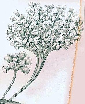 Zoothamnium arbuscula