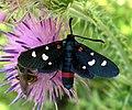 Zygaena ephialtes, Lepidoptera-Zygaenidae.jpg