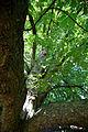 'Aesculus hippocastanum' horse-chestnut conker tree at Feeringbury Manor, Feering Essex England 2.jpg