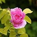 'Rosa Gertrude Jekyll' at Goodnestone Park Kent England 1.jpg