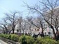 (神奈川県) 鎌倉の鶴岡八幡宮へと続く並木道。約300本の桜並木が続きます。花見には少し時期が早かったようでした - panoramio.jpg