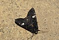 (2155) Dot Moth (Melanchra persicariae) (3669398473).jpg